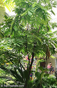 Amherstia nobilis, Pride of Burma, Orchid Tree  Click to see full-size image