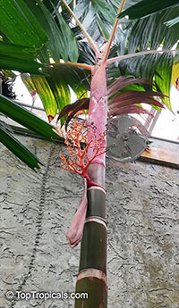 Areca vestiaria, Orange Crownshaft Palm  Click to see full-size image