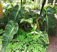 Anthurium veitchii, King Anthurium  Click to see full-size image
