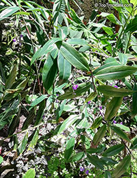 Dichorisandra pendula, Weeping Blue Ginger, Blue Pendant  Click to see full-size image