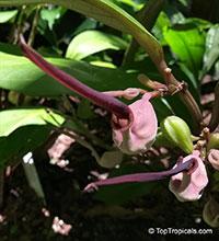 Aristolochia philippinensis, Barubo  Click to see full-size image