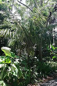 Allagoptera caudescens, Buri Palm  Click to see full-size image