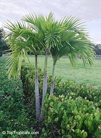 Unknown 147, Palm  Click to see full-size image