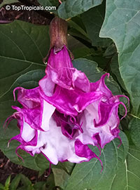 Datura metel, Purple Horn-of-Plenty, Jimpson Weed, Devils Weed  Click to see full-size image
