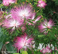 Calliandra brevipes, Calliandra selloi, Acacia selloi, Pink Powderpuff, Shuttlecock, Esponja, Esponjinha, Manduruva, Fairyduster, Mesquitilla, Mock mesquite, Quebra-foice  Click to see full-size image