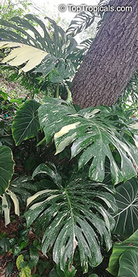 Monstera deliciosa, Philodendron pertusum, Swiss Cheese Plant, Fruit Salad Plant, Ceriman  Click to see full-size image