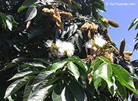 Inga feuilleei, Inga edulis , Ice Cream Bean, Inga, Guama, Guaba  Click to see full-size image