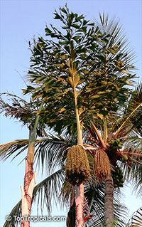 Caryota sp., Solitary Fishtail Palm, Toddy Palm, Jaggery Palm, Wine Palm, Kitul  Click to see full-size image