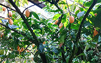 Theobroma cacao, Chocolate Tree, Cacao, Cocoa Tree  Click to see full-size image
