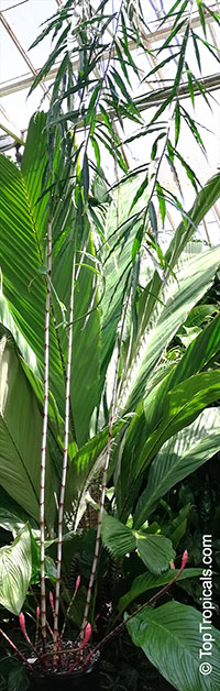 Costus stenophyllus, Bamboo Costus  Click to see full-size image