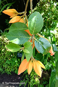 Juanulloa aurantiaca, Juanulloa mexicana, Gold Finger Plant, Mexican Spoon Flower  Click to see full-size image