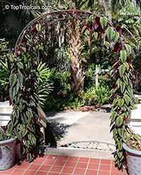 Cissus discolor, Vitis discolor, Rex Begonia Vine, Painted Cissus, Tapestry Vine   Click to see full-size image