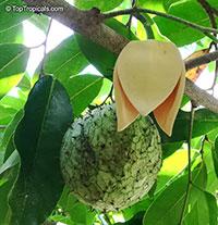 Annona montana, Mountain Soursop, Wild Custard Apple, Guanabana de monte, Wild Soursop  Click to see full-size image