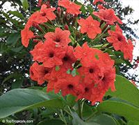 Cordia sebestena, Geiger Tree, Scarlet Cordia, Aloe Wood  Click to see full-size image