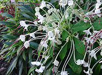 Clerodendrum incisum, Clerodendrum macrosiphon, Rotheca incisa, Rotheca incisafolia , Musical Note, Morning Kiss, Clerodendron, Witches Tongue  Click to see full-size image
