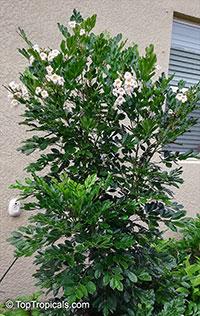 Radermachera sp., Tree Jasmine  Click to see full-size image
