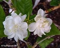 Jasminum sambac Arabian Knights, Nyctanthes sambac, Arabian Knights tea jasmine, Arabian Nights, Sampaguitas, Arabian Jasmine, Hawaiian Pikake  Click to see full-size image