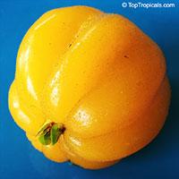 Eugenia neonitida, Pitangatuba  Click to see full-size image
