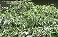 Tabernaemontana sp. variegata, Variegated Tabernaemontana  Click to see full-size image