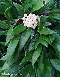 Hoya lacunosa, Wax plant  Click to see full-size image