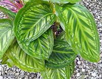 Goeppertia veitchiana, Calathea veitchiana, Prayer Plant  Click to see full-size image
