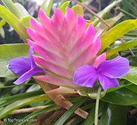 Tillandsia sp., Tillandsia  Click to see full-size image