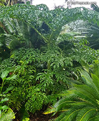 Amorphophallus sp., Voodoo lily, Devils tongue, Snake Palm, Corpse flower, Elephant Foot Yam  Click to see full-size image