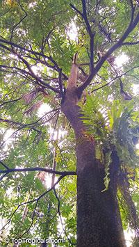 Alstonia scholaris , Blackboard Tree, Indian Devil Tree, Sapthaparni, Ditabark, Milkwood Pine, White Cheesewood  Click to see full-size image