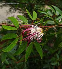 Calliandra riparia, Calliandra schultzei , Pink Powderpuff  Click to see full-size image