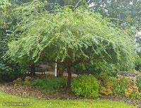 Bauhinia bowkeri, Kei White Bauhinia, Bowker's Bauhinia, Keibeesklou  Click to see full-size image