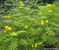 Cassia occidentalis, Senna occidentalis, Cassia ligustrina, Coffee Senna, Fedegoso, Privet Cassia  Click to see full-size image