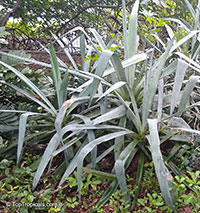 Agave neglecta, Small agave  Click to see full-size image