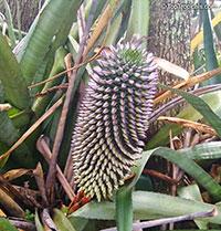 Aechmea sphaerocephala, Aechmea Bromeliad, Urn Plant  Click to see full-size image