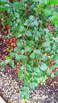Eugenia foetida, Eugenia buxifolia, Spanish Stopper, Boxleaf Stopper   Click to see full-size image