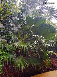 Thrinax radiata, Thrinax floridana, Florida Thatch Palm  Click to see full-size image