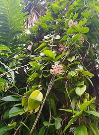 Hoya carnosa, Wax Plant  Click to see full-size image
