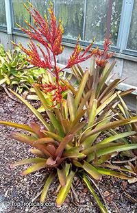 Aechmea sp., Bromeliad  Click to see full-size image