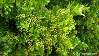 Aglaia odorata, Chinese Perfume Plant, Chinese Rice Flower, Mock Lemon  Click to see full-size image
