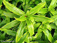 Callisia fragrans, Spironema fragrans, Basket Plant, Golden tendril, Russian Holistic Medicinal Plant  Click to see full-size image