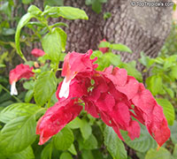 Justicia brandegeana, Beloperone guttata, Mexican Shrimp Plant, Shrimp Plant  Click to see full-size image
