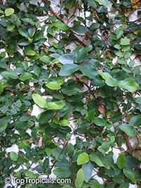 Ficus pumila, Ficus repens, Climbing Fig, Creeping Fig  Click to see full-size image