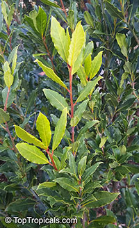 Laurus nobilis, Bay Leaf  Click to see full-size image