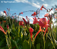 Ipomoea hederifolia, Ipomoea coccinea, Scarlet Morning Glory, Scarlet Creeper, Star Ipomoea, Trompillo  Click to see full-size image