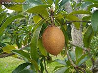 Manilkara zapota, Manilkara achras, Achras sapota, Sapodilla, Ciku, Naseberry, Nispero, Sapote, Brown Sugar Fruit  Click to see full-size image