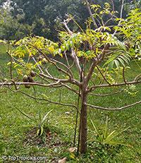Spondias dulcis, Spondias cytherea, June Plum, Ambarella, Wi Apple, Golden Apple, Otaheite-apple, Caja-manga, Pommecythere   Click to see full-size image