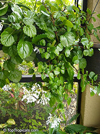 Plectranthus australis - Swedish Ivy  Click to see full-size image