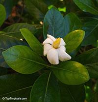 Gardenia taitensis Nana, Dwarf Tahitian Gardenia  Click to see full-size image