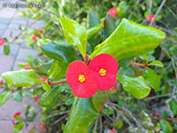 Euphorbia geroldii, Thornless Euphorbia  Click to see full-size image