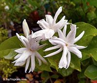 Jasminum sambac Belle of India Elongata, Nyctanthes sambac, Belle of India  Click to see full-size image