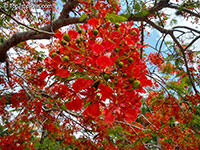 Delonix regia, Poinciana regia, Flame tree, Flamboyant, Royal poinciana, Gul Mohr, Peacock Flower  Click to see full-size image